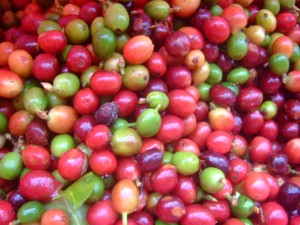 Freshly picked coffee beans from harvest '10/'11